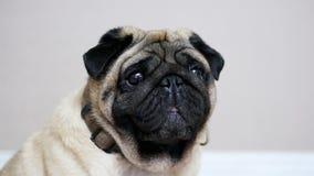 一个哀伤和肥胖哈巴狗的画象,滑稽的狗在屋子里坐,打呵欠疲乏和懒惰 股票录像