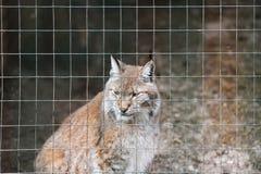 一个哀伤的野生天猫座的画象在格子篱芭的外形的 免版税库存图片