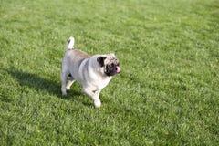 一个哈巴狗 免版税库存照片