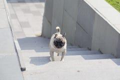 一个哈巴狗 库存照片