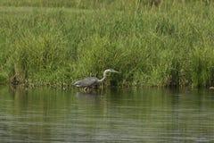 一个唯一伟大蓝色的苍鹭的巢 免版税库存图片