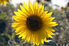 一个唯一向日葵 库存照片