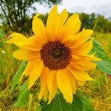 一个唯一狂放的向日葵的细节 免版税库存照片