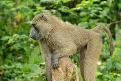 一个唯一狒狒在密林 免版税库存照片