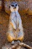 一个唯一Meerkat或Suricate身分注意组装 库存照片