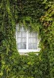 一个国家白色木家的Windows有掩藏的常春藤的,充分报道  库存照片