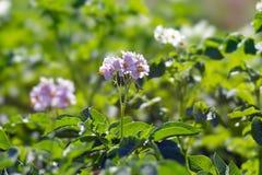 一个土豆的淡紫色花在菜种植园的在菜园里 图库摄影