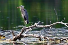 一个在一个死的树枝的伟大蓝色的苍鹭的巢立场在水 免版税库存图片