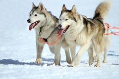 一个多壳的拉雪橇狗队在工作 免版税库存图片