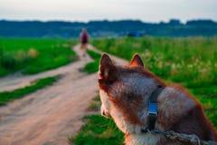 一个多壳的狗背面图的画象 红色西伯利亚爱斯基摩人转动看离开在土路的一个人的剪影 图库摄影