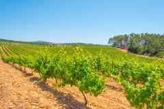 一个多小山风景的葡萄园 免版税库存照片