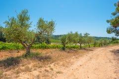 一个多小山风景的葡萄园 免版税库存图片