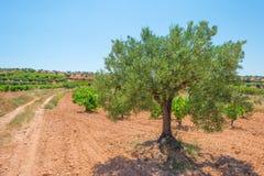 一个多小山风景的葡萄园 库存图片