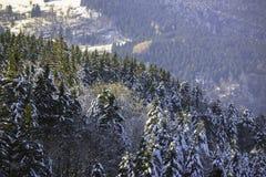 一个多雪的冷杉森林的冬天风景 免版税库存照片