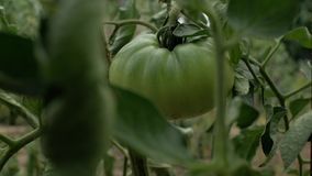 一个大不成熟绿色蕃茄在一个分支增长在庭院里 4K 4K?? 股票视频