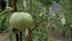 一个大不成熟绿色蕃茄在一个分支增长在庭院里 4K 4K?? 影视素材