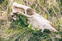 一个大动物的头骨在草的 免版税库存照片