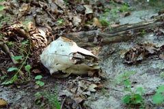 一个大动物的头骨 免版税库存图片