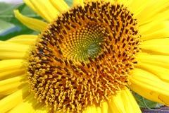 一个大向日葵 免版税库存照片