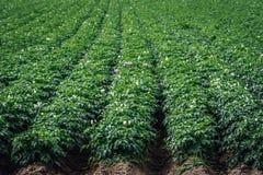 一个大土豆领域的特写镜头 库存图片