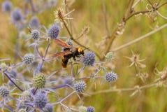 一个大大黄蜂坐在领域的一朵干燥花 免版税库存图片