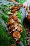一个大树特写镜头的下落的树干 生长在树的很多蘑菇 库存图片