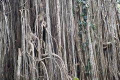 一个大榕属结构树的气生根在密林 免版税图库摄影