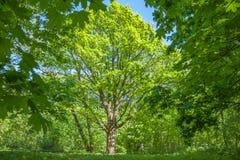 一个大橡树在森林 免版税库存照片