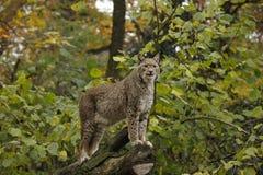 一个大欧亚天猫座,食肉动物的猫 库存图片