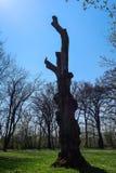 一个大死的树干的剪影与一只小的鸟的 图库摄影