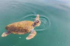 一个大游泳海龟海龟 库存图片