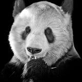 一个大熊猫的面孔 免版税库存图片