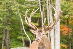 一个大男性,大型装配架鹿 免版税库存图片