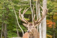 一个大男性,大型装配架鹿 库存照片