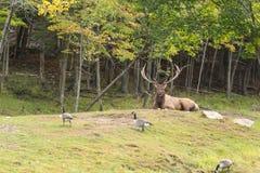 一个大男性,大型装配架鹿 库存图片