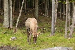 一个大男性,大型装配架鹿 免版税图库摄影