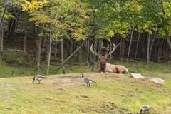 一个大男性,大型装配架鹿 免版税库存照片