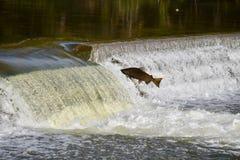 一个大的飞跃:三文鱼秋天迁移 免版税图库摄影