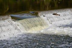 一个大的飞跃:三文鱼秋天迁移 库存图片