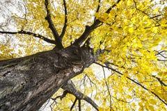 一个大秋季结构树 免版税库存图片