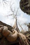 一个大结构树在吴哥城在柬埔寨 库存图片