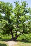 一个大绿色榆树 一棵老树在Goshavank修道院里在亚美尼亚 库存照片