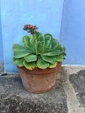 一个大罐的绿色多汁植物 免版税图库摄影