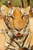 一个大美丽的老虎特写镜头的画象 图库摄影