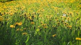 一个大草甸用黄色蒲公英 股票视频