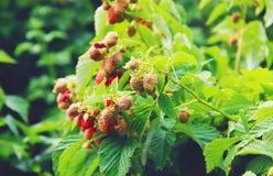 一个大莓的灌木 库存图片