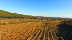 一个大葡萄园以黄色在秋天 股票视频