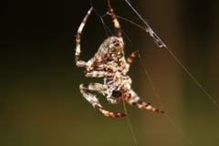 一个大蜘蛛网在森林里 库存照片