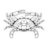 一个大西洋螃蟹的传染媒介图象 免版税图库摄影