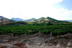 一个大,绿色葡萄园在大山树荫下  可口酒在将来 库存图片